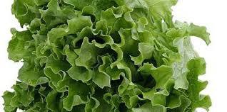 Grand Rapids Lettuce/生菜 seedlings