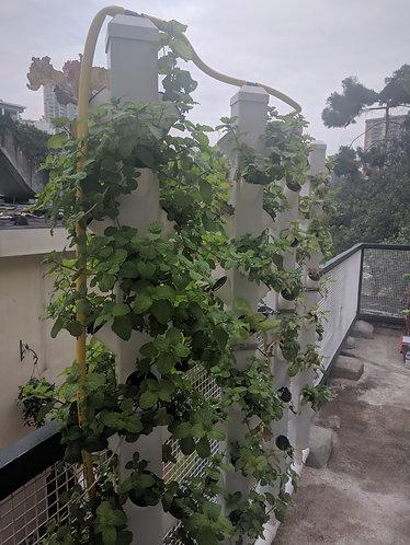 Mint/薄荷 seedlings
