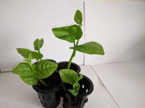 Bloomsdale Spinach/菠菜 seedlings