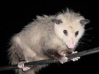 Stop Playing Possum!