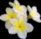 frangipani0-5-1395847.png