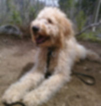 hiking with labradoodles
