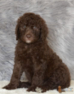 labradoodle with wool coat