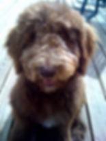 cute labradoodle puppy