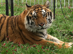 Tiger Face in Grass.jpg