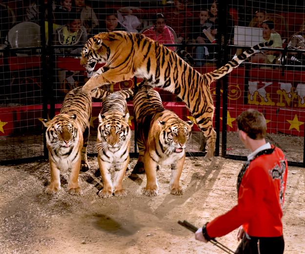 Jumping Tiger 2.jpg