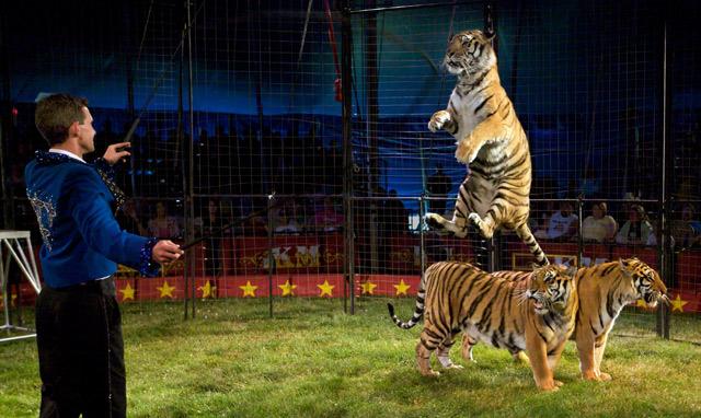Jumping Tiger.jpg