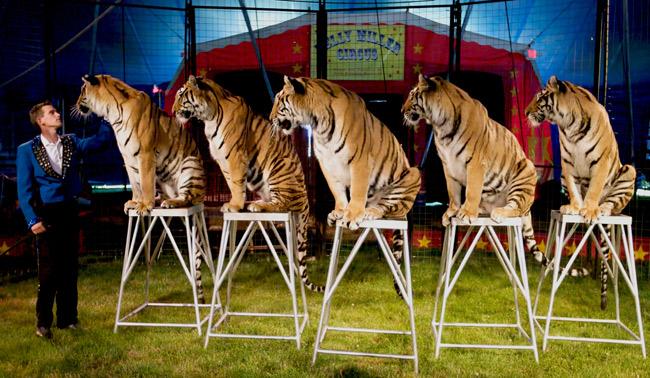 Sitting tigers.jpg