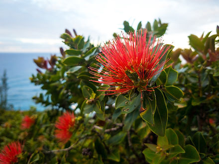 Ohia flower in the tropical paradise of