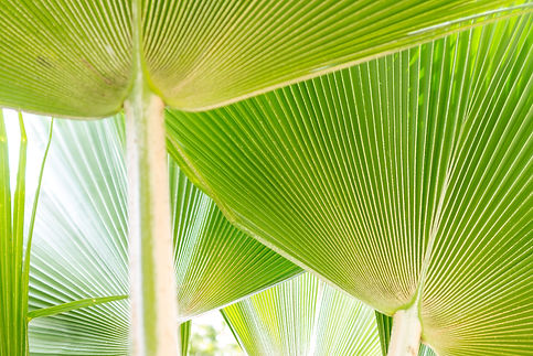 Abstract Pritchardia palm tree leaves re