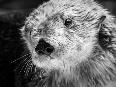 Maggie, beloved sea otter at Aquarium of the Pacific, dies