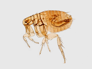 Long Beach sees a 'significant increase' in flea-borne typhus cases
