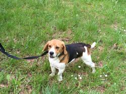 Jessie,Beagle 1an