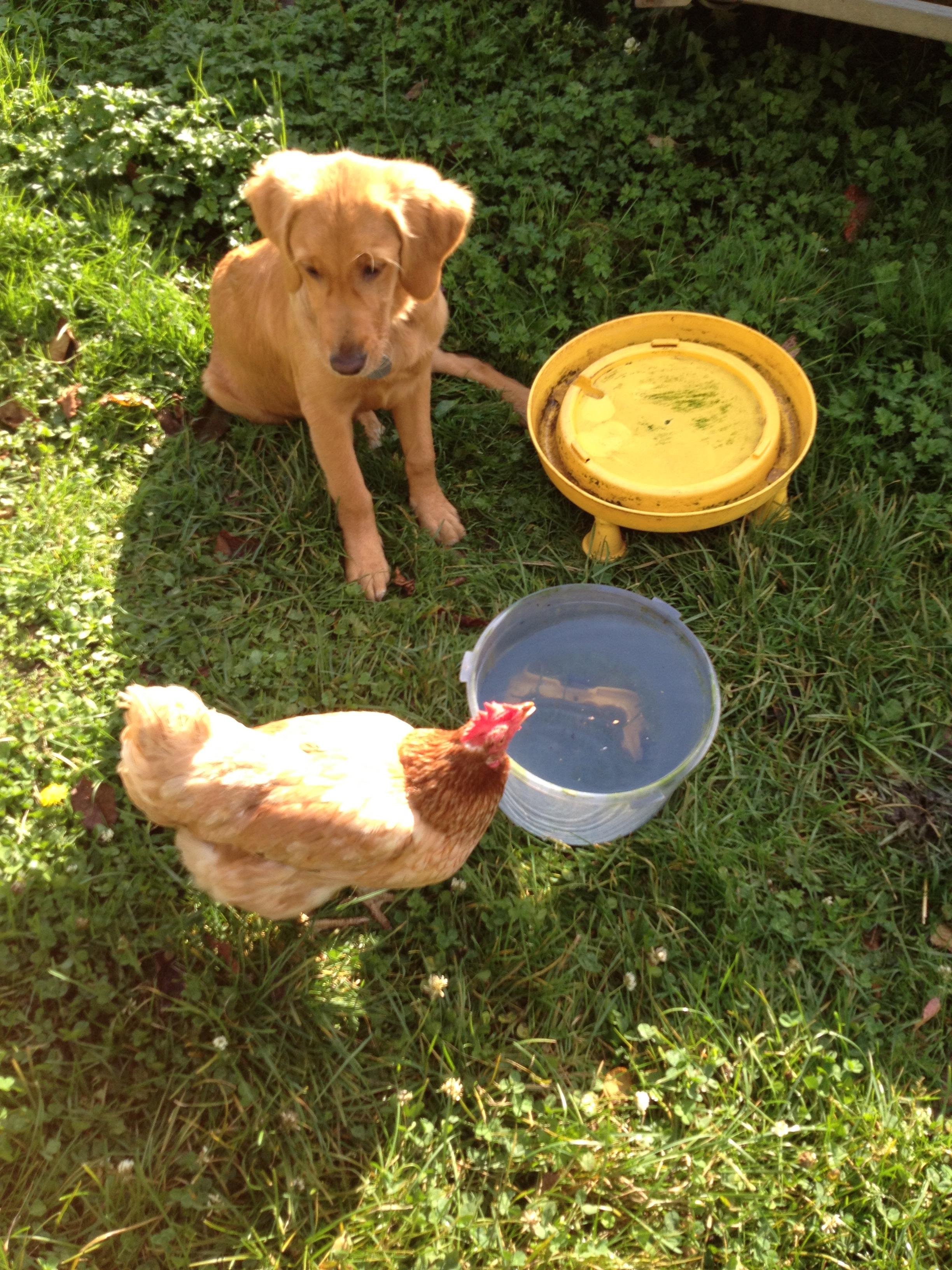 Jersey et les poules.