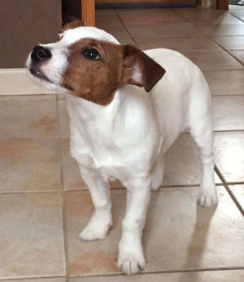 Lucky, Jack Russel Terrier 4,5mois
