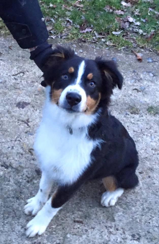 Loki, Berger Australien 5 mois