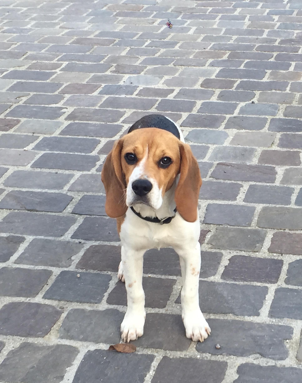 Bacon, Beagle 5mois