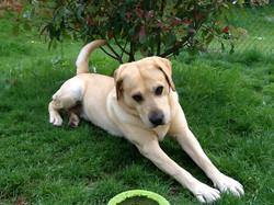 Endy,Labrador Retriever 6ans