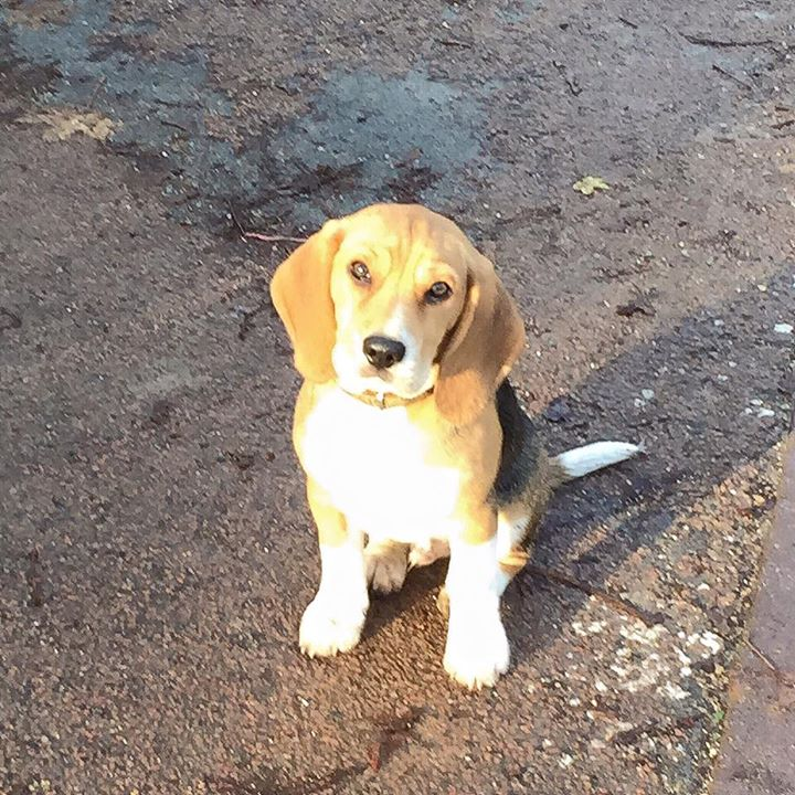 Léon, Beagle 4mois