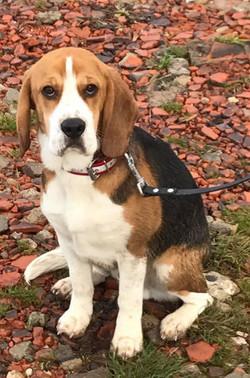 Némo, Beagle 11mois.