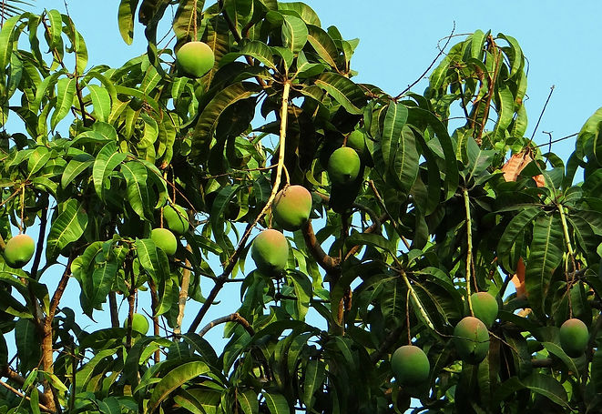 mango-tree-321075_1280.jpg