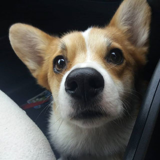 Are we there yet_ 🤣😍🐕__fredthepembrok