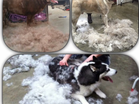 4 reasons why your dog might be shedding more