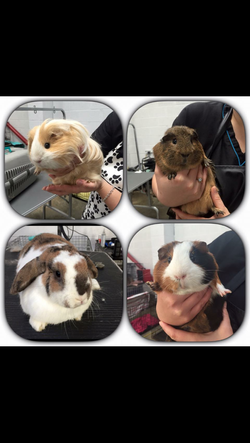 guinea pig and rabbit grooming
