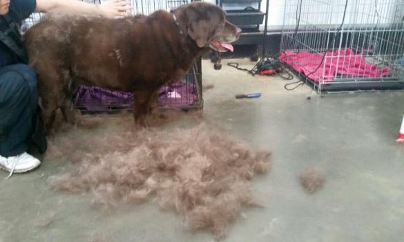 Labrador groom out
