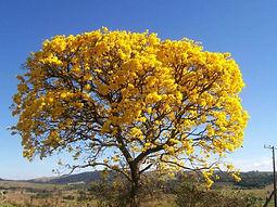 10-mudas-de-flor-ip-amarelo-no-tubete-ar