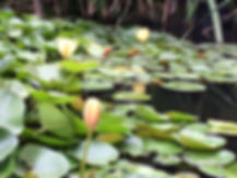 Water Lily Photo 9.18.JPG