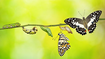 Lime butterfly or Lemon butterfly (Papil