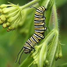 Monarch Caterpillar. Visible noise at 10