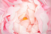 Soft focused on petal of pink flower abs