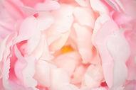 Soft focused on petal of pink flower abs