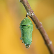 Monarch butterfly pupae covered in morni