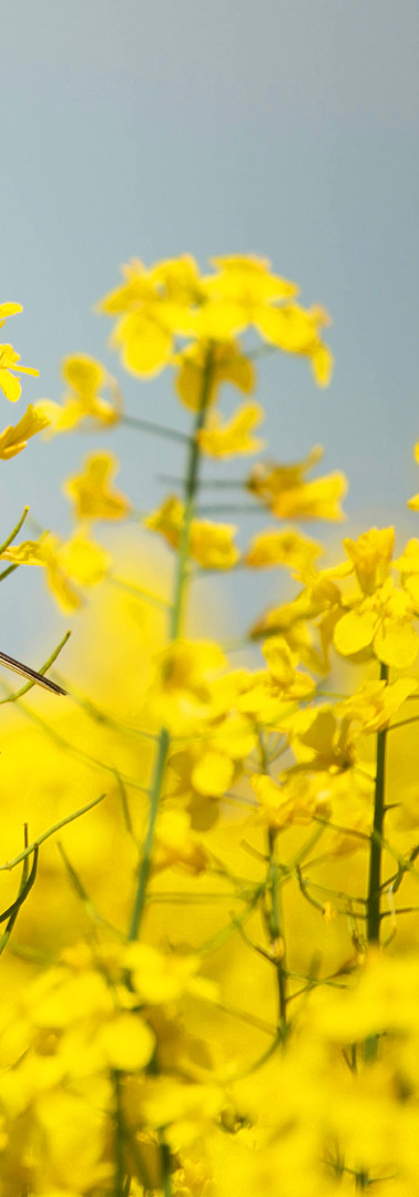 bird in yellow flowers, rapeseed.jpg