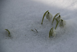 Sněženka podsněžník - Sněženka   plnokvětá (Galanthus nivalis)