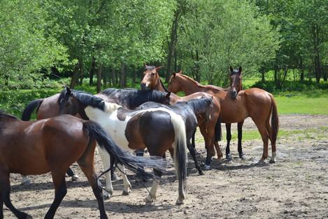 koně stádo