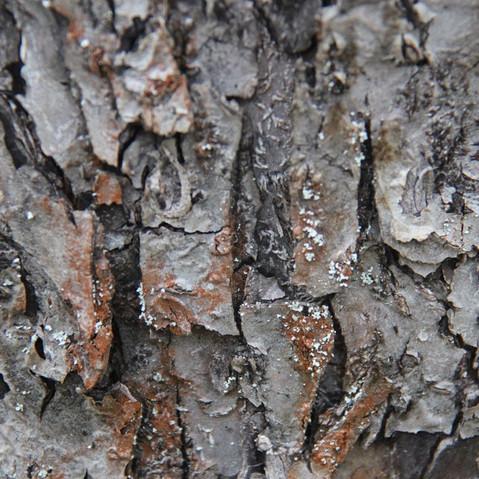 kůra stromu