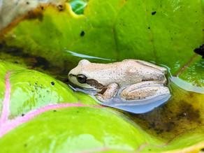 Lesueur's Stony Creek Frog 🐸 with photo descriptions