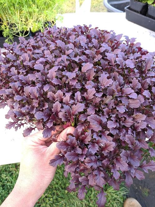 Salad Leaf: Bright Purple - 1 mega punnet