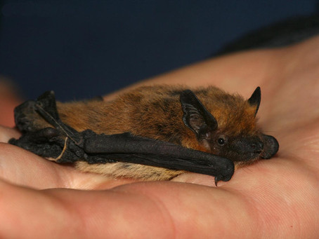 Climate Change Helping Bats Move Across Europe