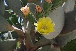 cactus santorin.jpg