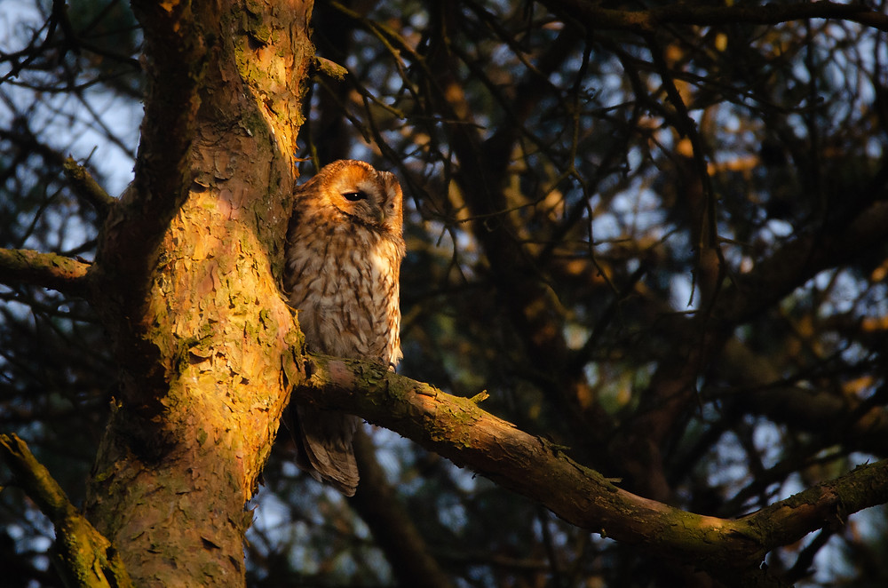 Tawny Owl sat in a pine tree in the golden hour