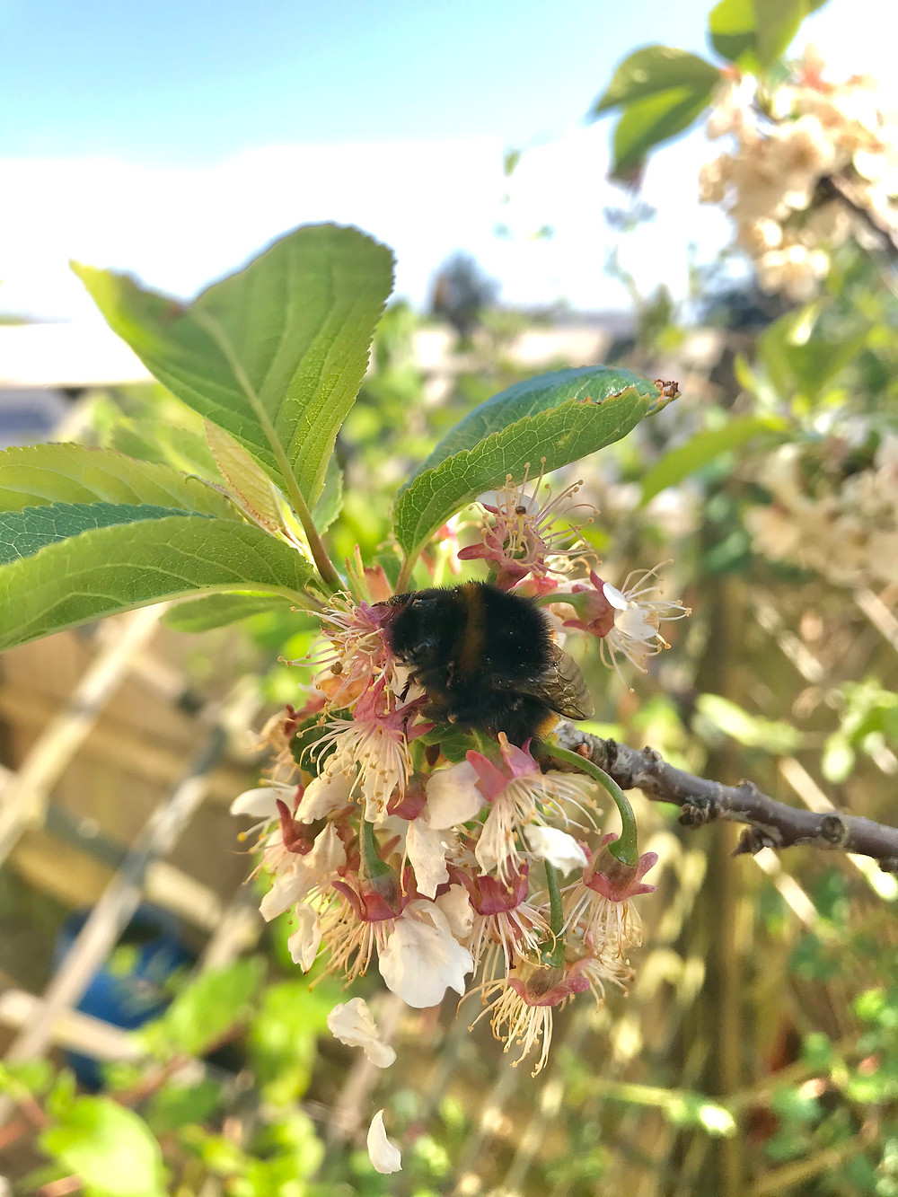 A bumble bee resting on a cherry blossom