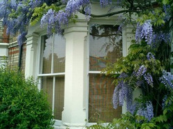 Wisteria on Divinity Road