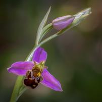 2019RFNHM_PDI_016 - Bee Orhid by Robert Sergeant.