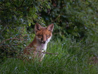 2019RFNHM_PDI_033 - Fox Cub by Robert Sergeant.