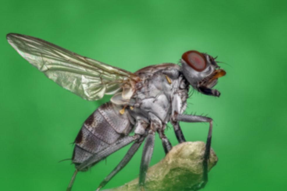 housefly-1122462_1920_bewerkt.jpg
